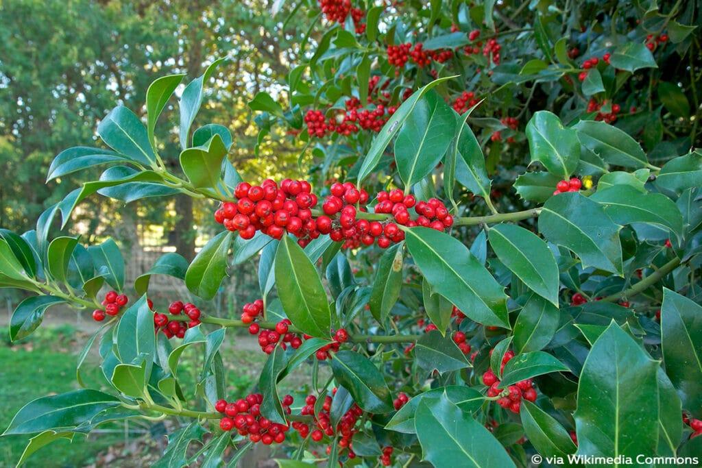 Europäische Stechpalme (Ilex aquifolium), rote Beeren