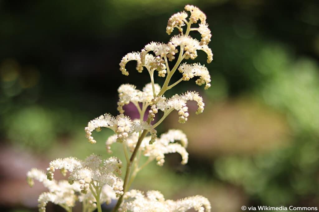 Fiederblättriges Schaublatt (Rodgersia pinnata), Schattenblume