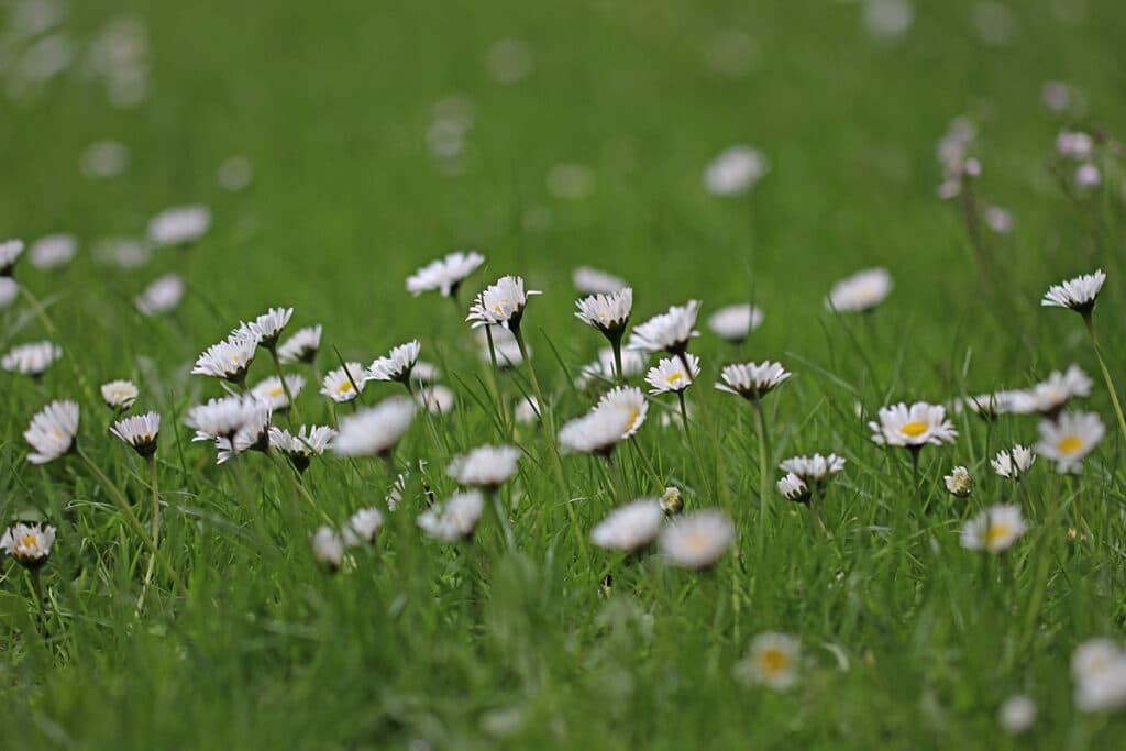 Gänseblümchen (Bellis perennis), Frühlingsblüher