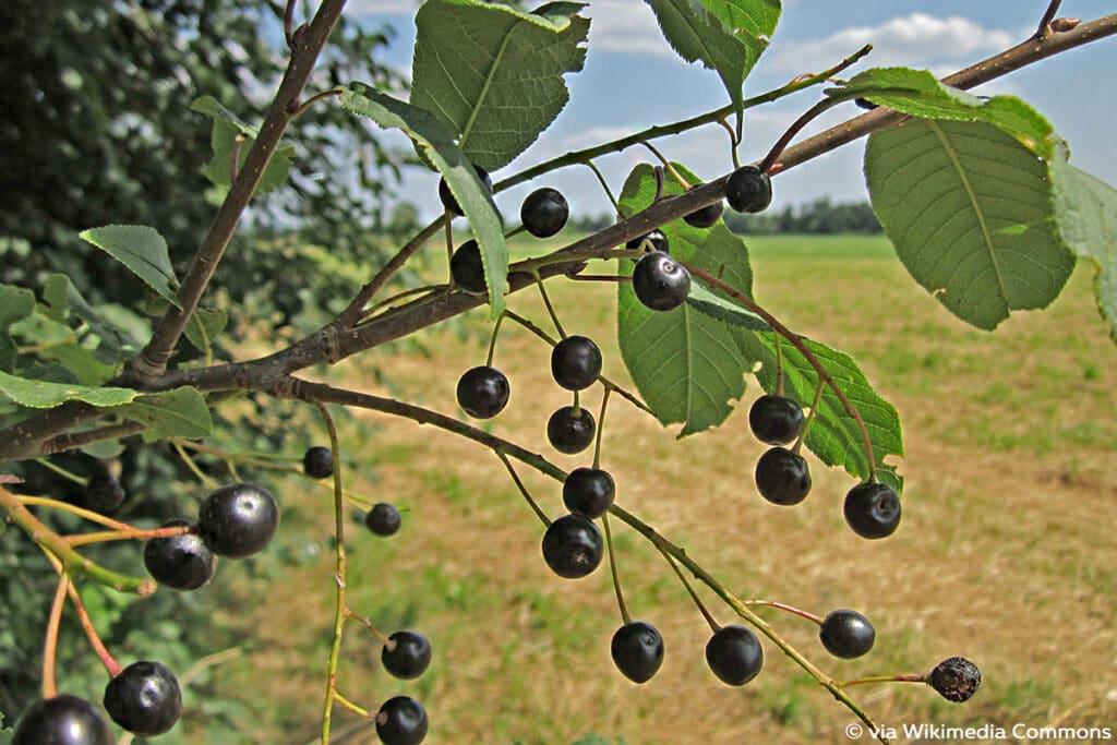 Gewöhnliche Traubenkirsche (Prunus padus)