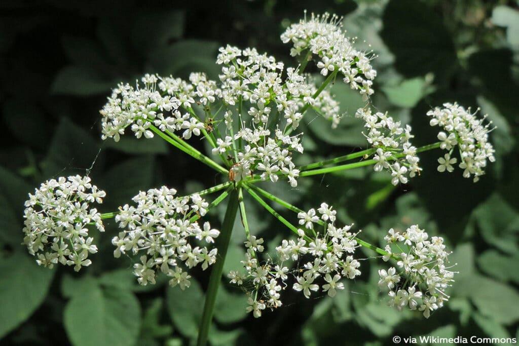 Giersch (Aegopodium podagraria), weiße Blüten