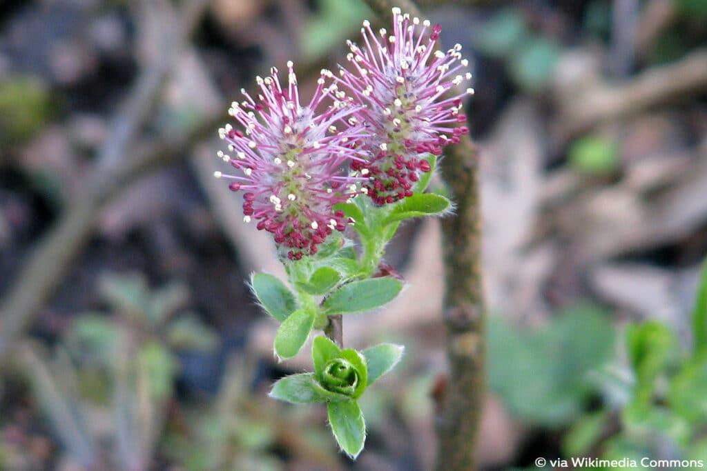 Heidelbeer-Weide (Salix myrtilloides), Weidensträucher