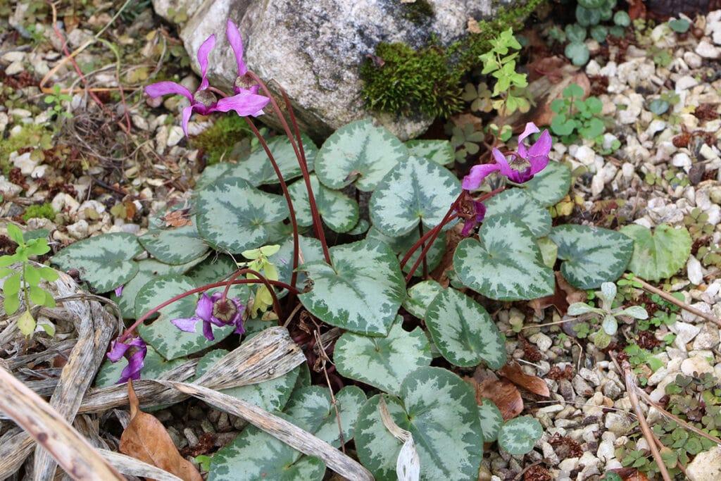 Herbst-Alpenveilchen (Cyclamen hederifolium), Schattenblume