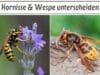 Hornisse & Wespe unterscheiden