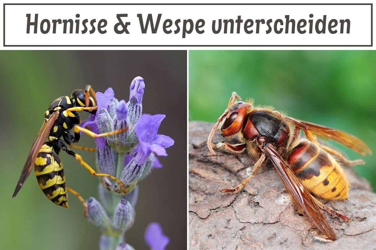 Hornisse Und Wespe