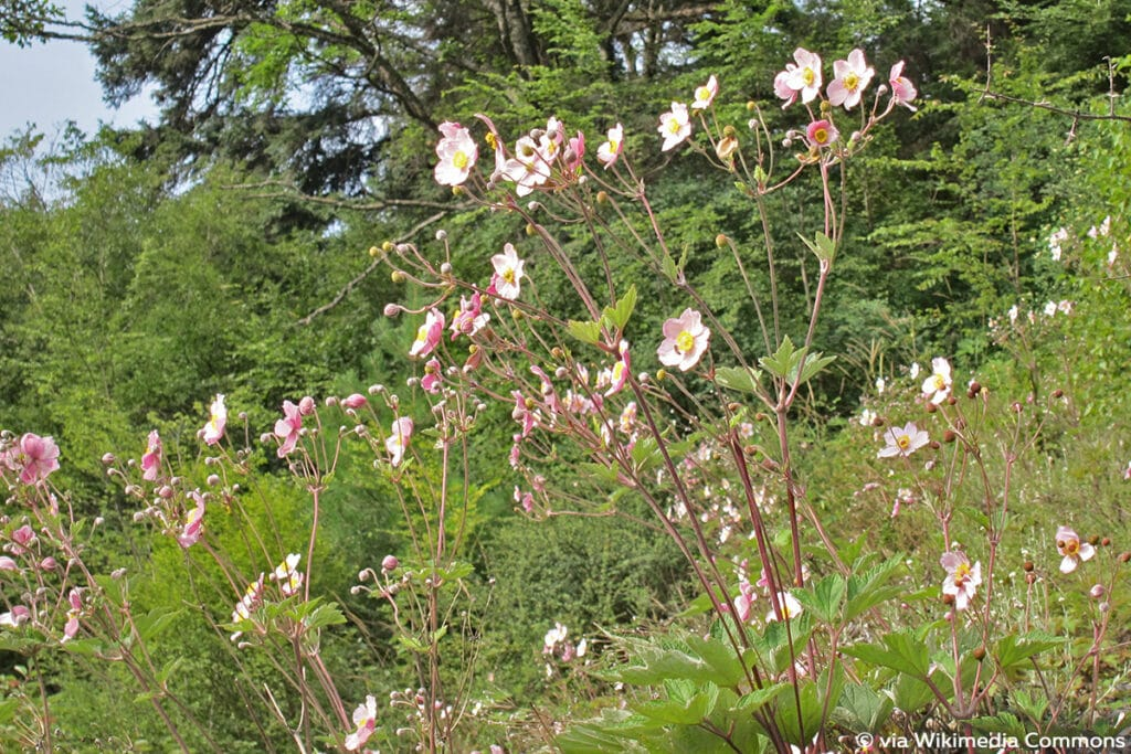 Japan-Herbstanemone (Anemone hupehensis)
