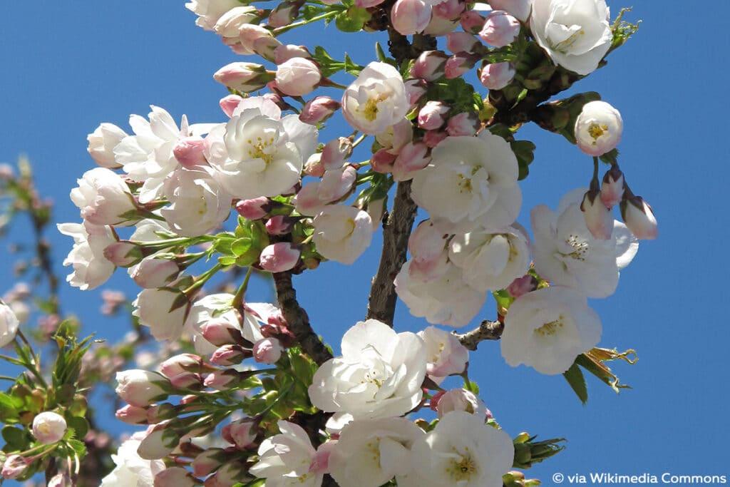 """Japanische Blütenkirsche, Prunus serrulata """"Shidare-Sakura"""", """"Mount Fuji"""", """"Shirotae"""""""