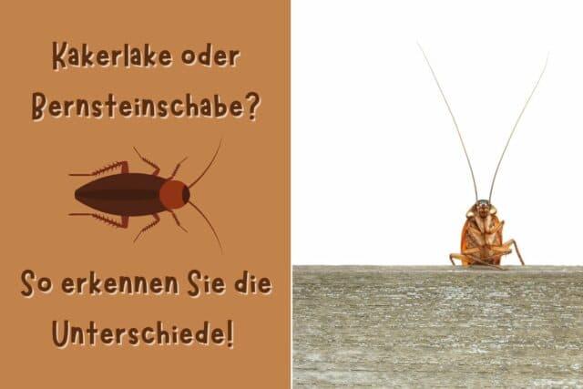 Kakerlake und Bernsteinschabe
