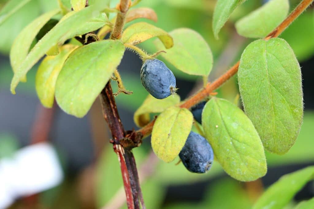 Kamtschatka-Heckenkirsche (Sibirische Blaubeere, Honigbeere, bot. Lonicera caerulea var. kamtschatica), blaue Beeren