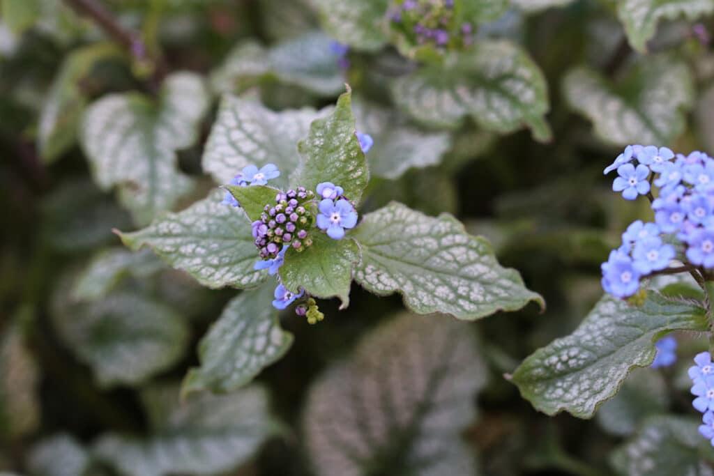 Schattenblume, Kaukasus-Vergissmeinnicht (Brunnera macrophylla)