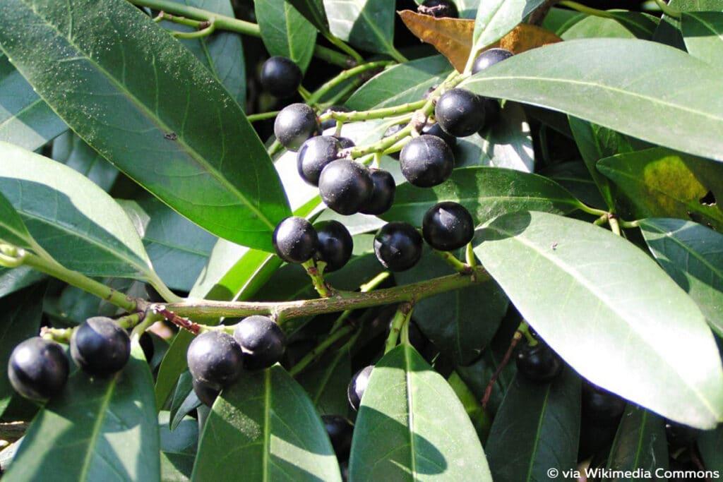 Kirschlorbeer - Prunus laurocerasus, schwarze Beeren