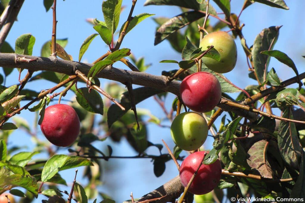 Kirschpflaume (Prunus cerasifera), rote Beeren