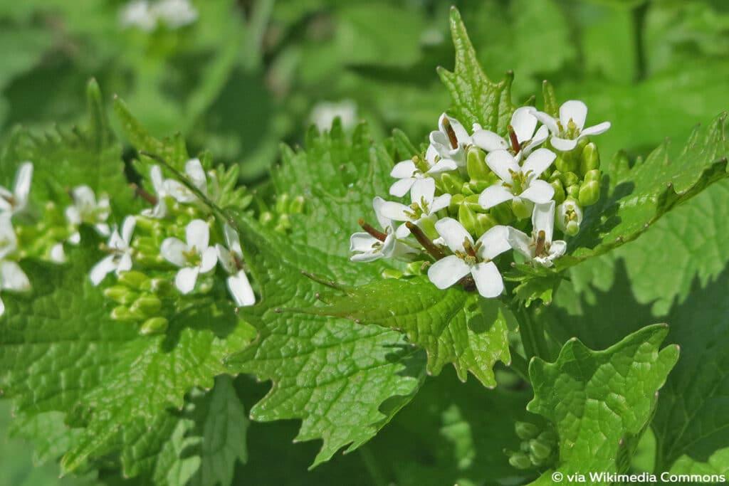 Knoblauchsrauke (Alliaria petiolata), weiße Blüten