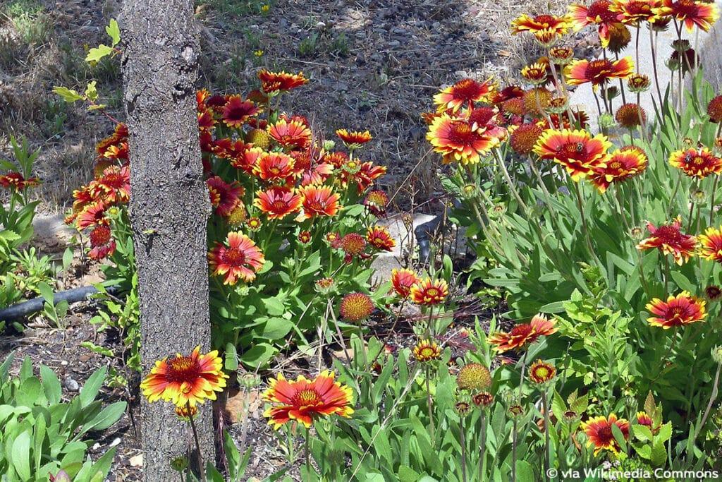 Kokardenblume (Gaillardia x grandiflora)