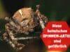Kreuzspinne - Spinnenbiss