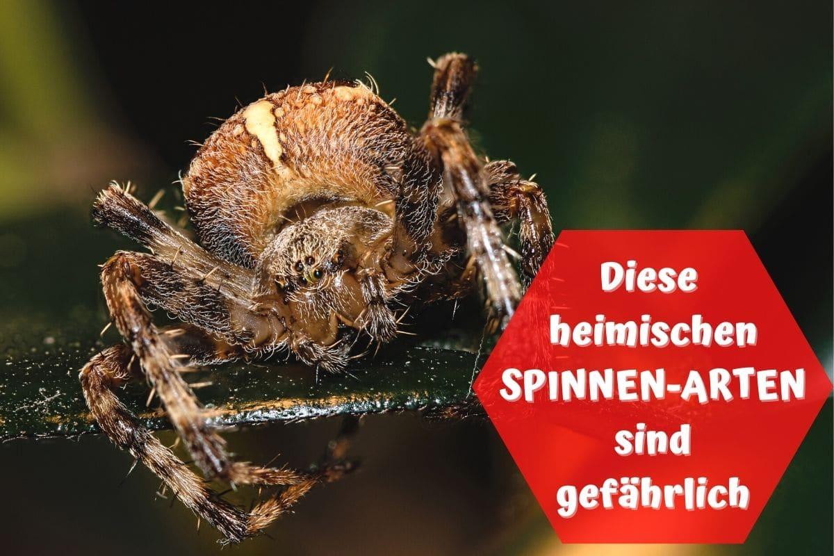 Spinnenbiss Deutschland Dornfinger
