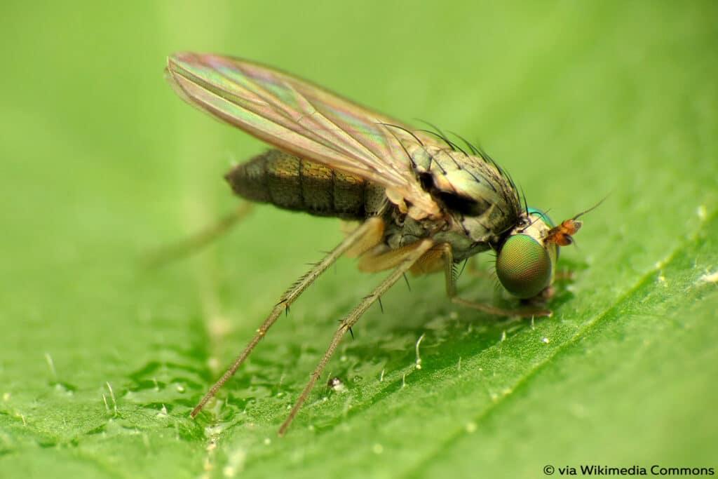 Langbeinfliegen (Dolichopodidae)