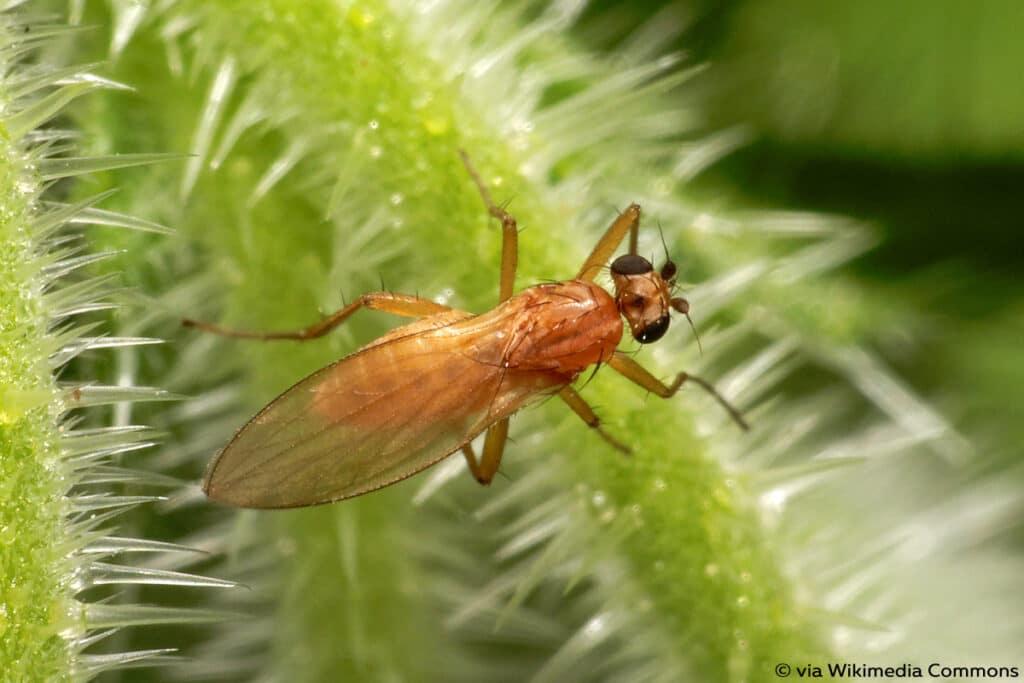 Lanzenfliegen (Lonchopteridae)