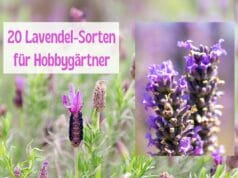 Lavendelsorten