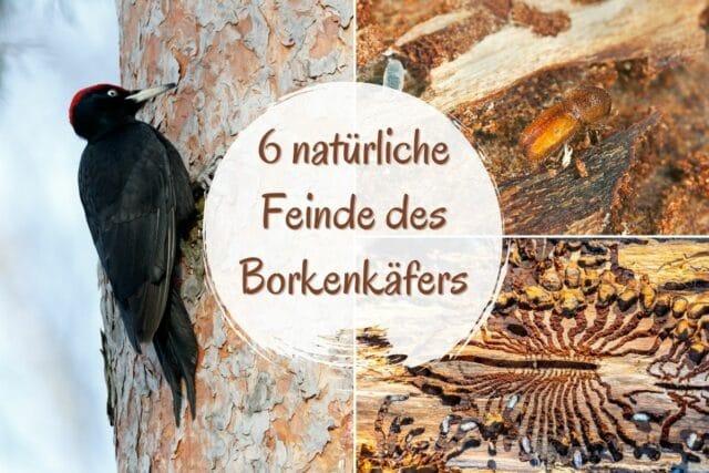 natürliche Feinde des Borkenkäfers