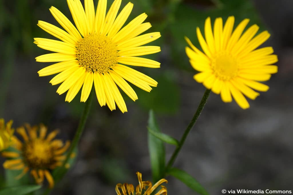 Sommer Blumen, Ochsenauge (Buphthalmum salicifolium)