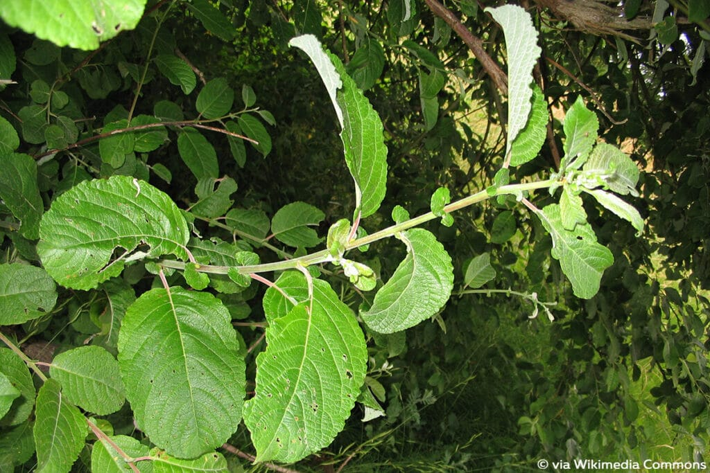 Ohr-Weide (Salix aurita), Weidensträucher