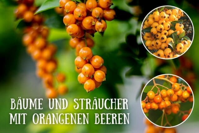 Orange Beeren an Bäumen