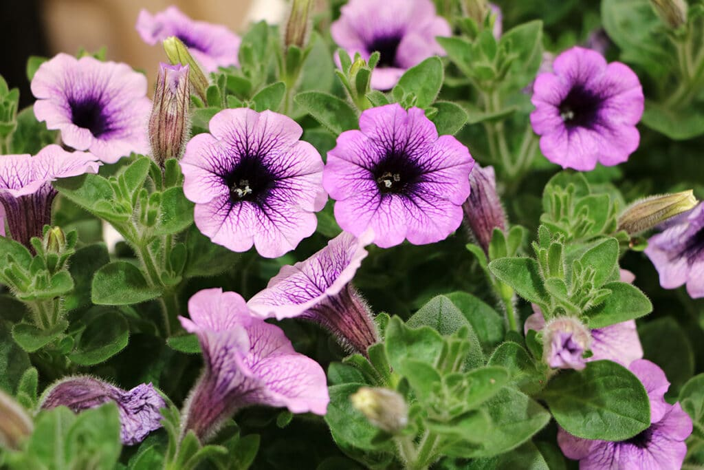 Petunie (Petunia), Sommer Blumen