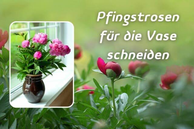 Pfingstrosen für die Vase schneiden