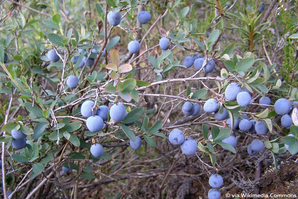 Rauschbeere (Trunkelbeere, Moorbeere, Nebelbeere, Kronsbeere, bot. Vaccinium uliginosum)