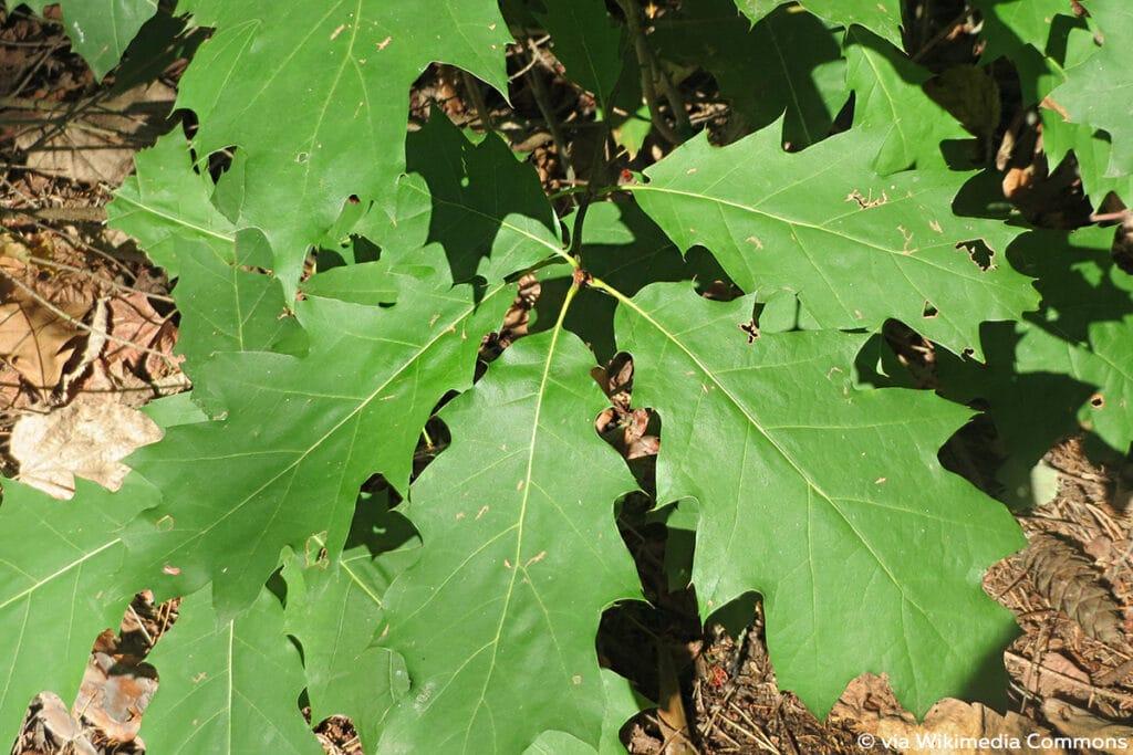 Rot-Eiche (Quercus rubra)