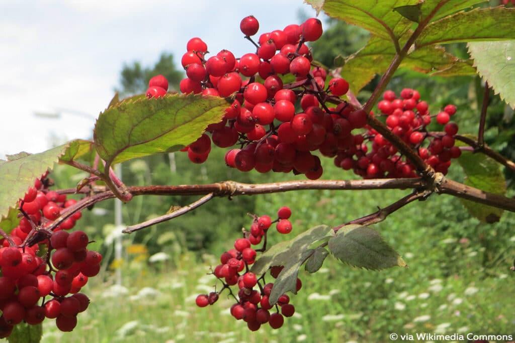 Roter Holunder (Sambucus racemosa), rote Beeren