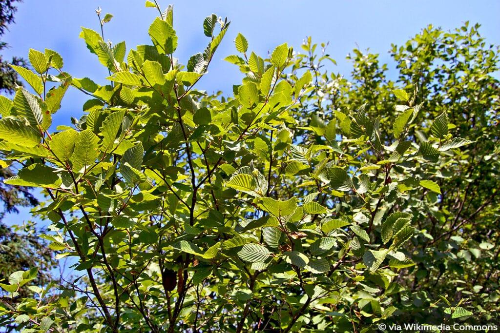 Runzelblättrige Erle (Alnus incana subsp. rugosa)