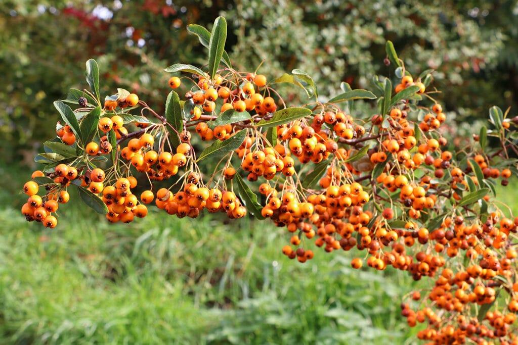 Sanddorn (Hippophae rhamnoides), orange Beeren