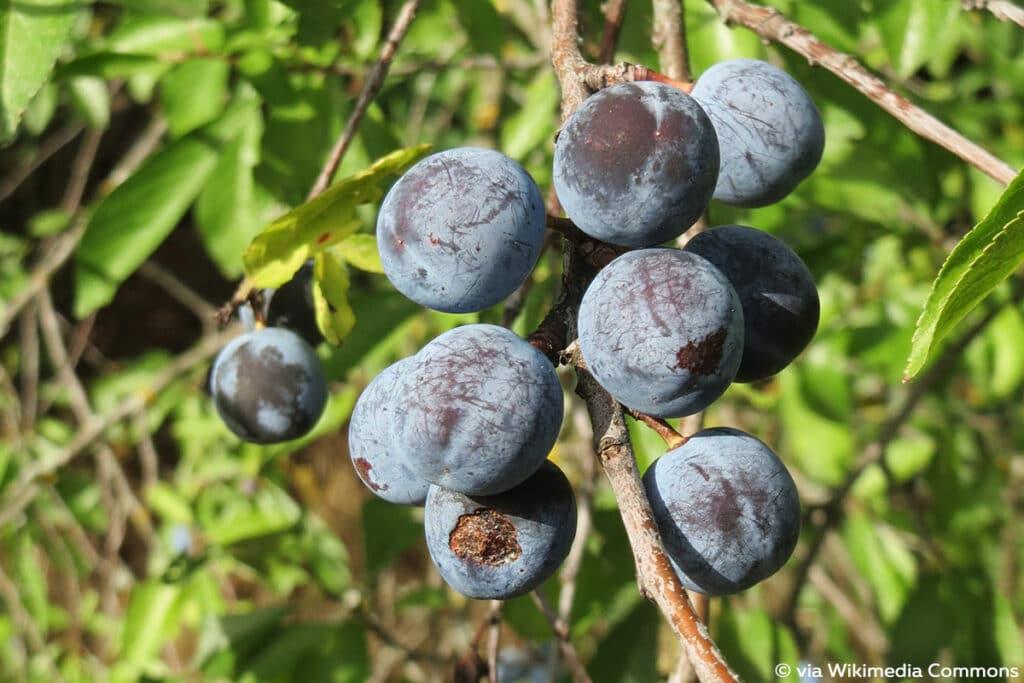 Schlehe (Prunus spinosa), blaue Beeren