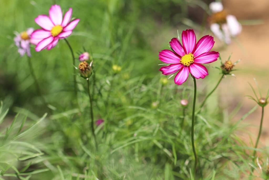 Cosmea (Cosmos bipinnatus), Sommer Blumen