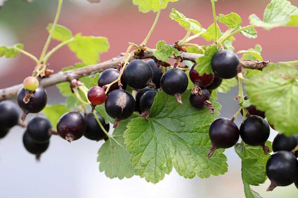 Schwarze Johannisbeere - Ribes nigrum