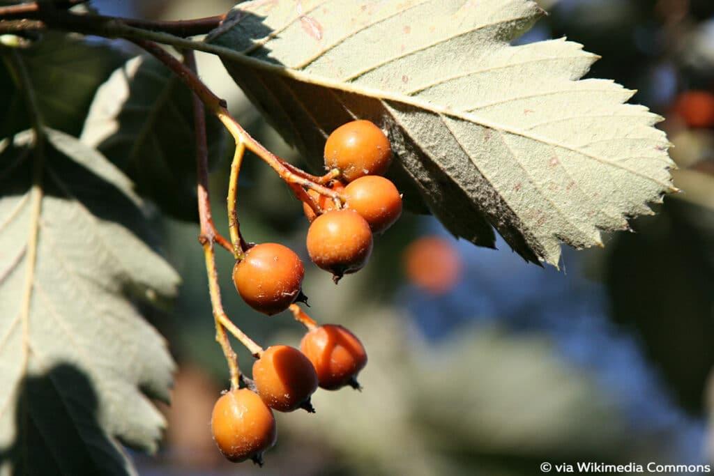 Schwedische Mehlbeere (Oxelbeere, bot. Sorbus intermedia)