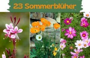 Sommerblüher