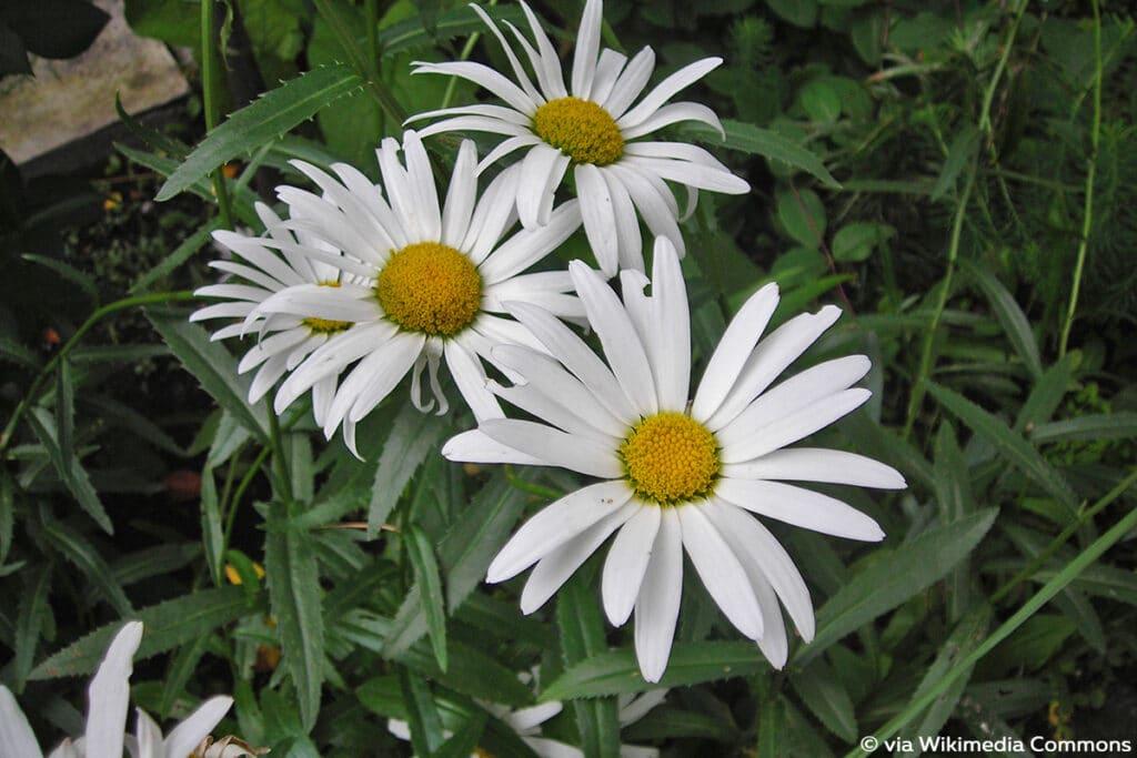 Sommermargerite (Leucanthemum x superbum)