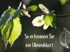 Ulmenblatt
