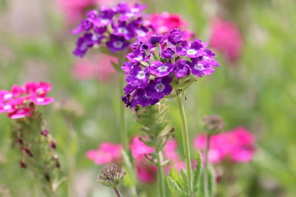 Verbene (Verbena), Sommer Blumen