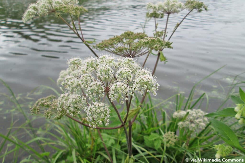 Wald-Engelwurz (Angelica sylvestris), weiße Blüten