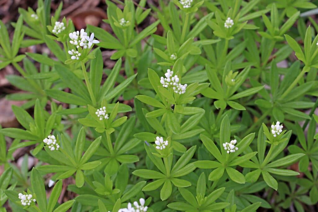 Echter Waldmeister (Galium odoratum)