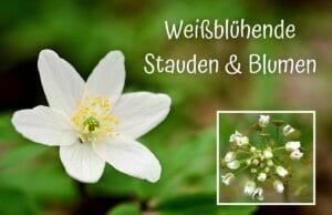 Weißblühende Stauden und Blumen