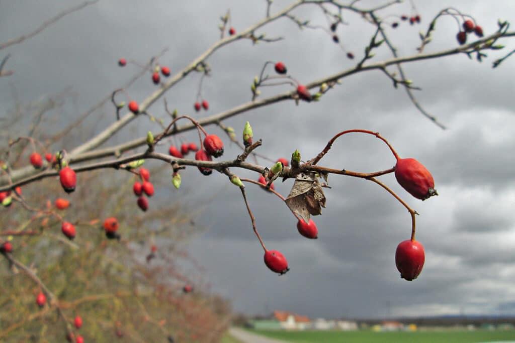 Weißdorn (Crataegus monogyna), rote Beeren
