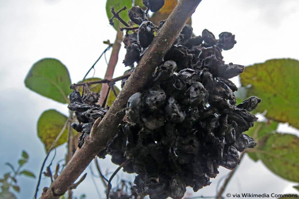 schwarze Beeren, Wolliger Schneeball - Viburnum lantana
