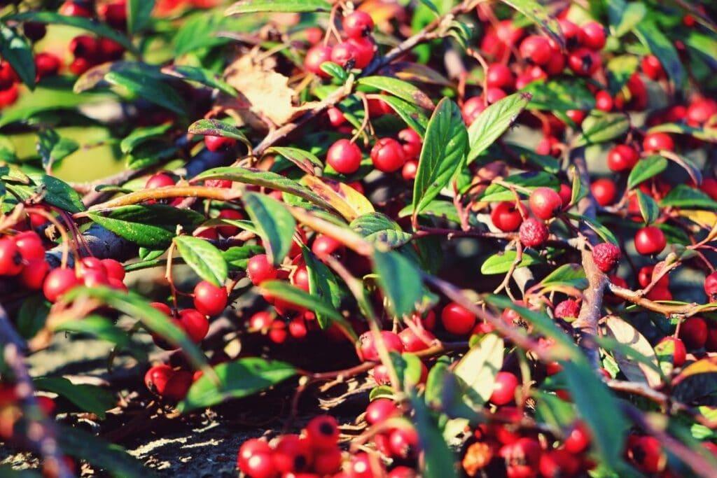Zwergmispel (Cotoneaster), rote Beeren