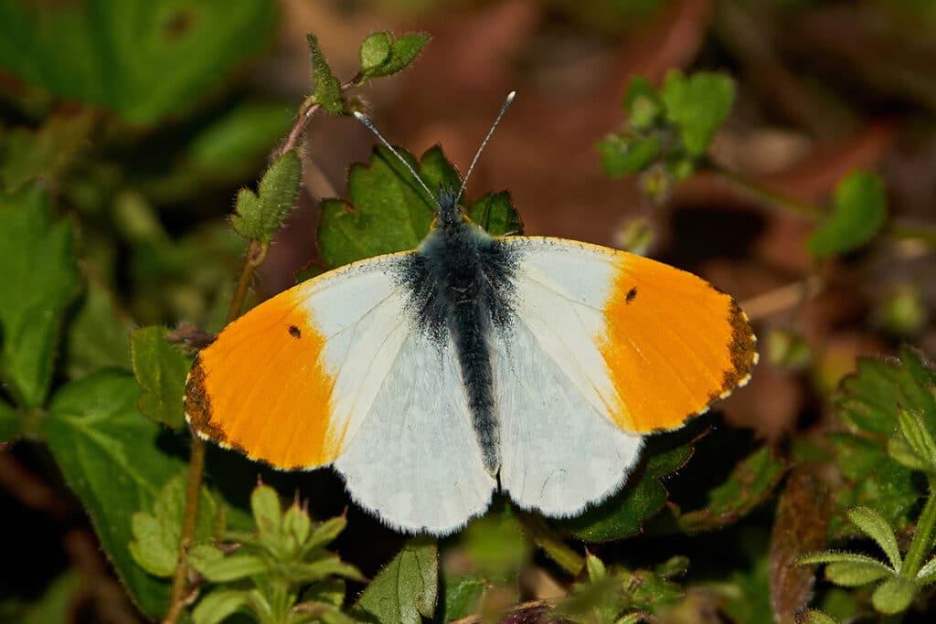 Aurorafalter (Anthocharis cardamines), Schmetterlinge
