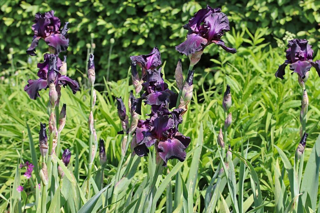 Bart-Iris, Schwertlilie (Iris barbata), Lavendel Begleitpflanzen